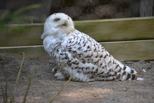 reference photo of a snowy owl for