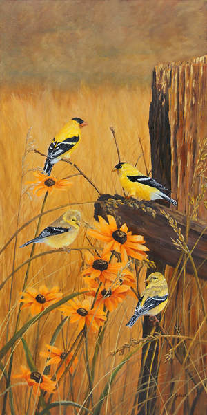 Two pair of Goldfinches and black-eyed susans.
