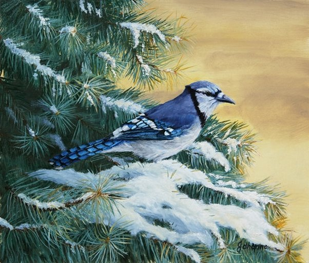Giclee fine art print of a Blue Jay perched on a blue spruce branch.